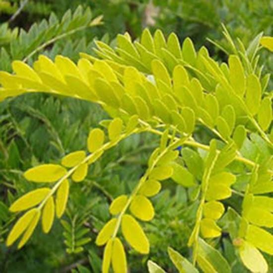 Pflanze des Monats: Gleditsia triacanthos `Sunburst´ - Gold Gleditschie